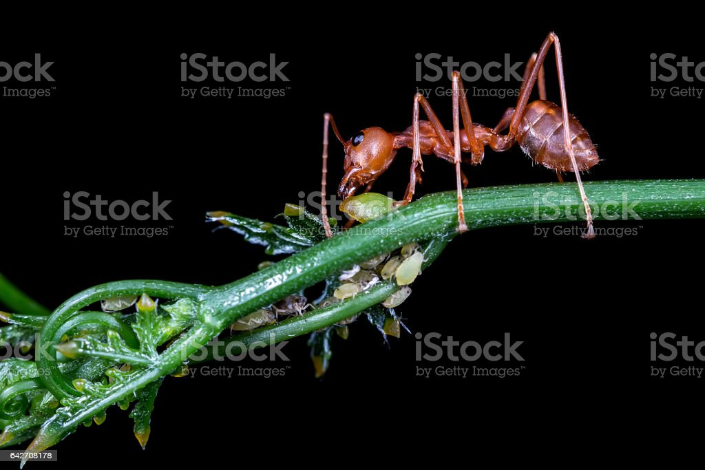 Red ant eating syrup from aphis stock photo
