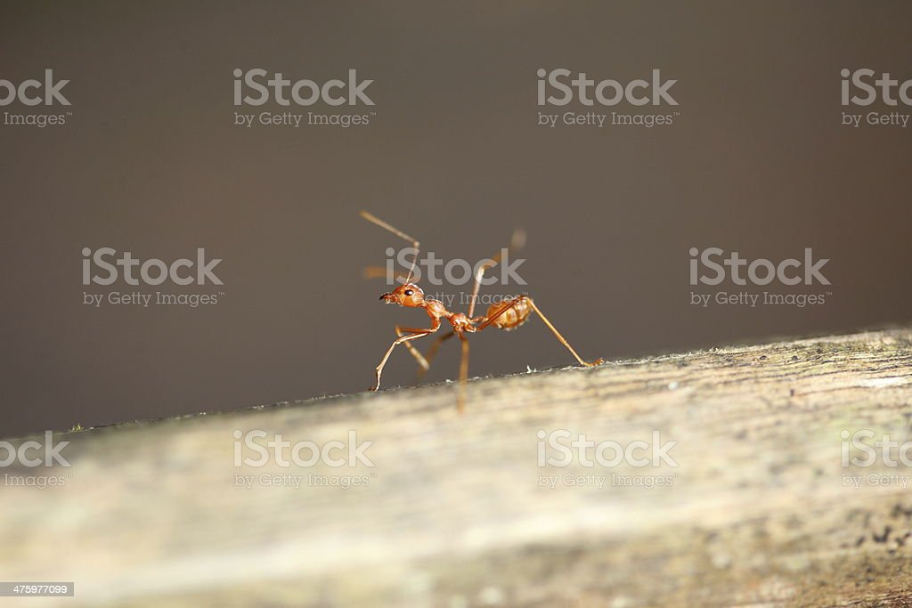 red ant in the nature royalty-free stock photo