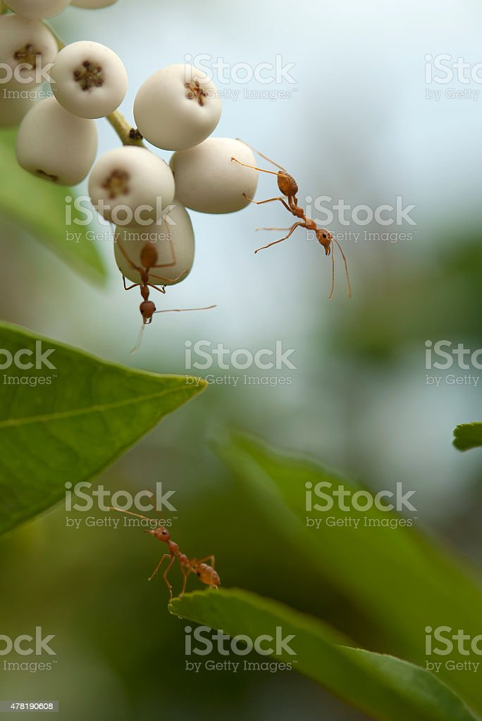 red ant on a leaf stock photo