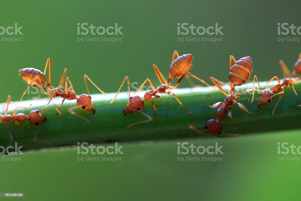 Red ant on Leaf stalk stock photo