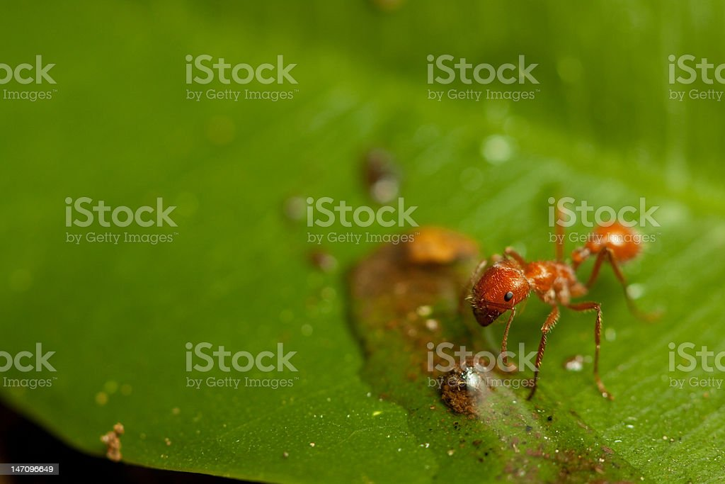 red ant royalty-free stock photo