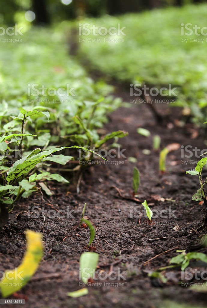 Red Ant Road royalty-free stock photo