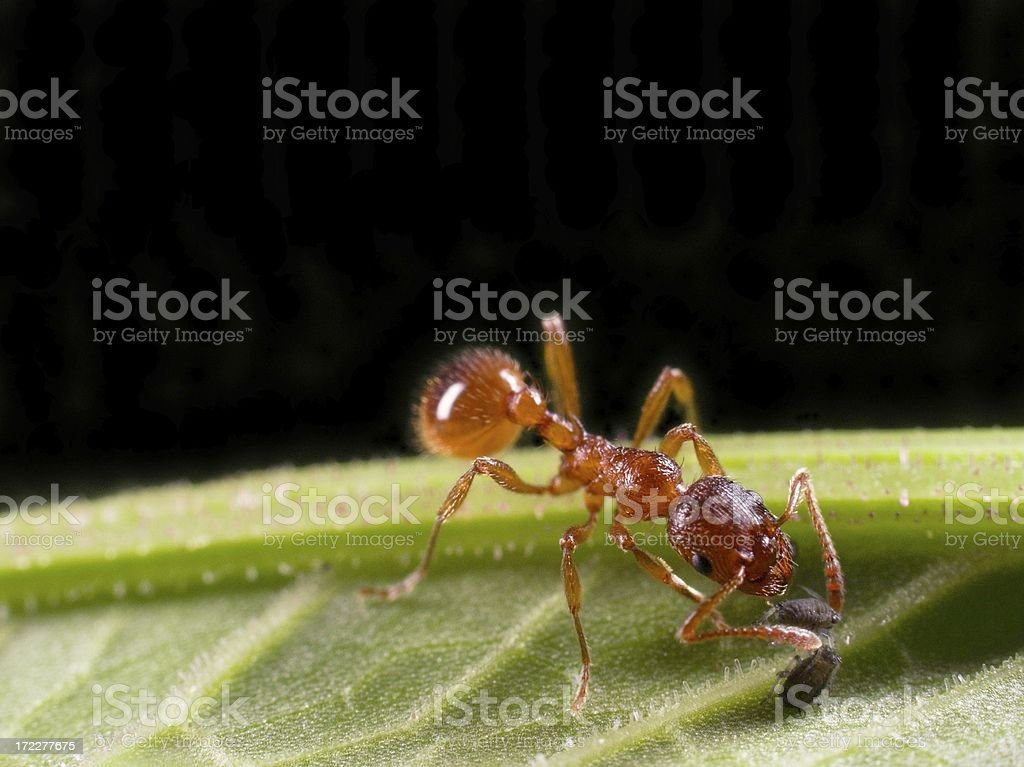 Red Ant starting aphid farm stock photo