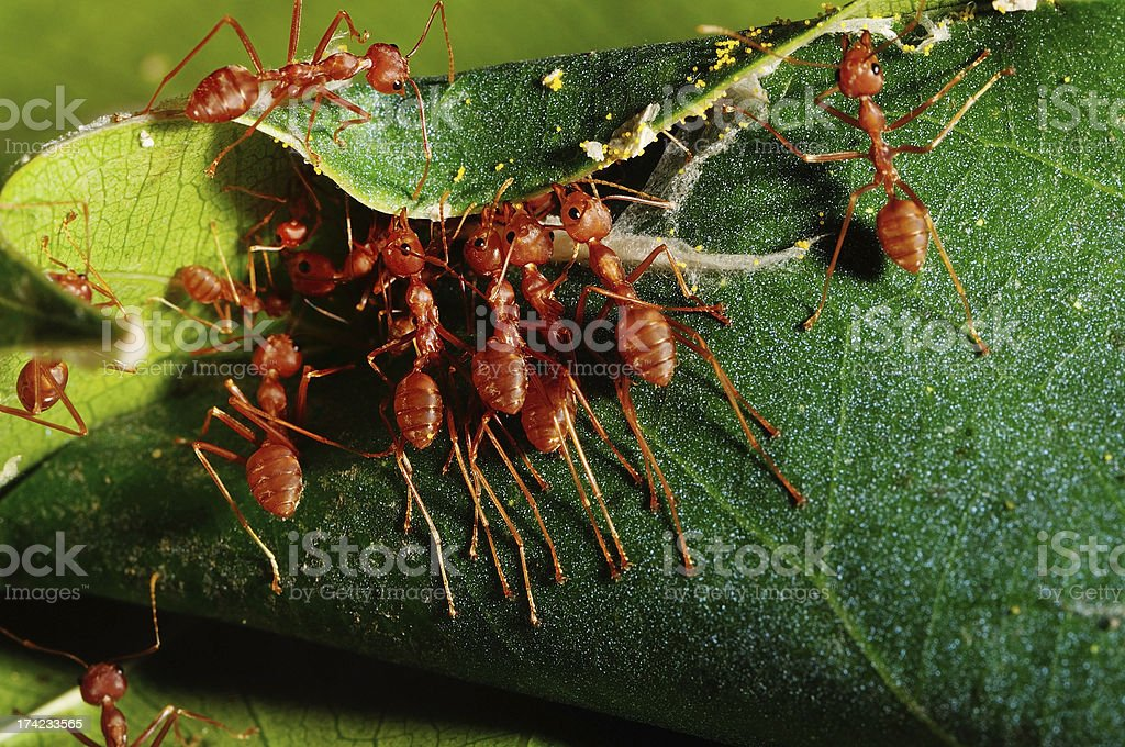 red ant teamwork in green nature royalty-free stock photo