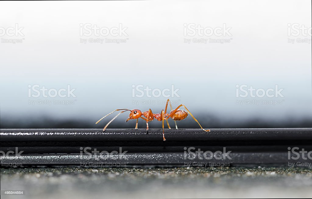Red ant walking on the parapet stock photo