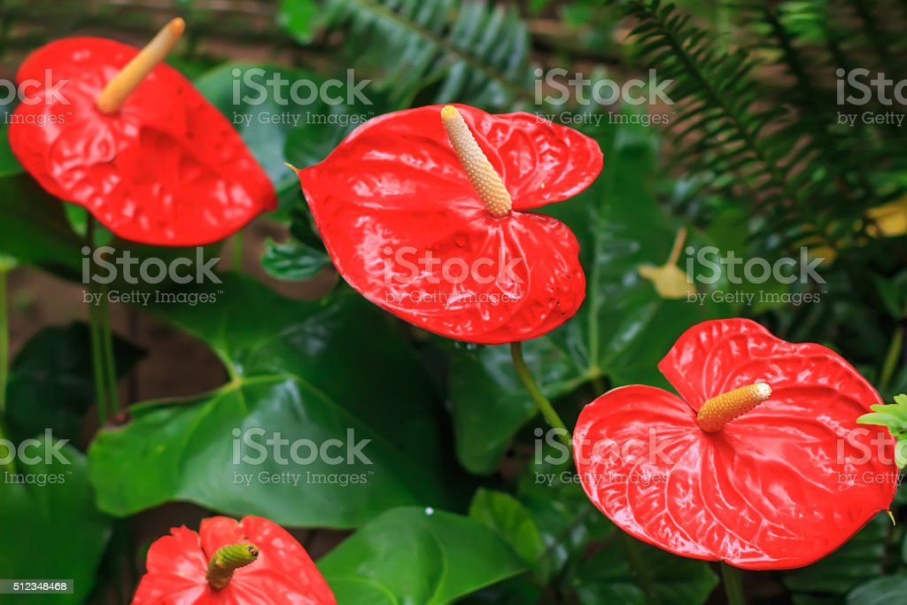 Red anthurium also known as tailflower, flamingo flower and laceleaf stock photo