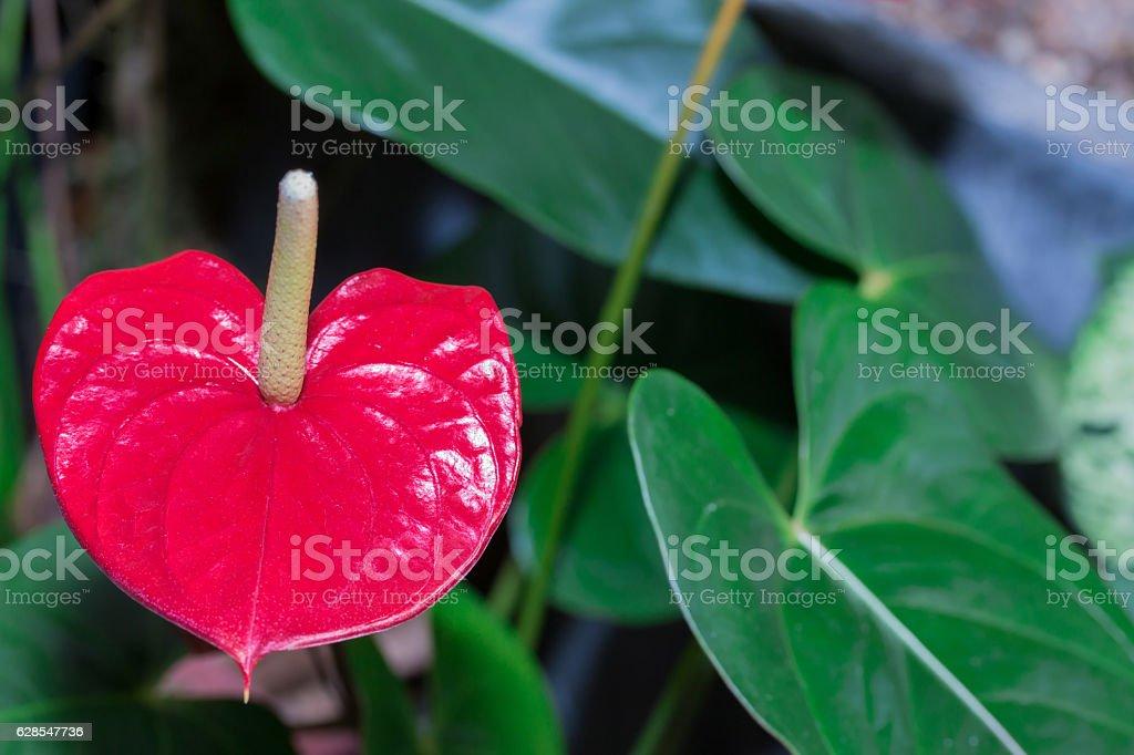 Red anthurium flower in garden. stock photo