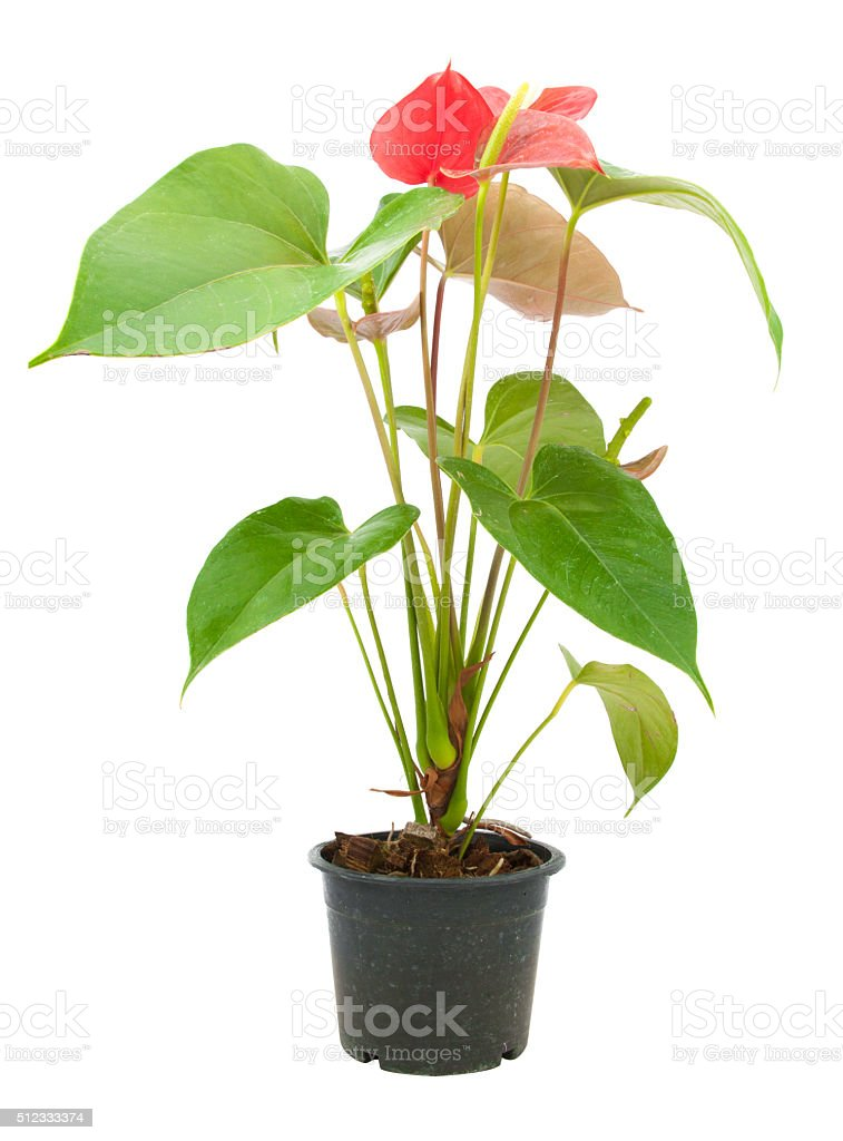 red anthurium flower stock photo