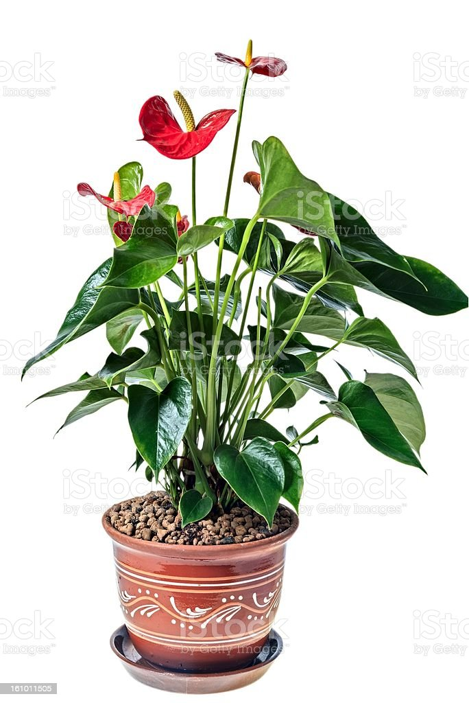 Red anthurium in a pot royalty-free stock photo
