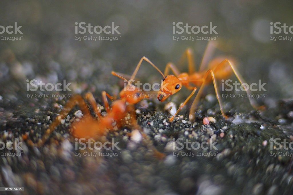 Red ants Fighting. stock photo