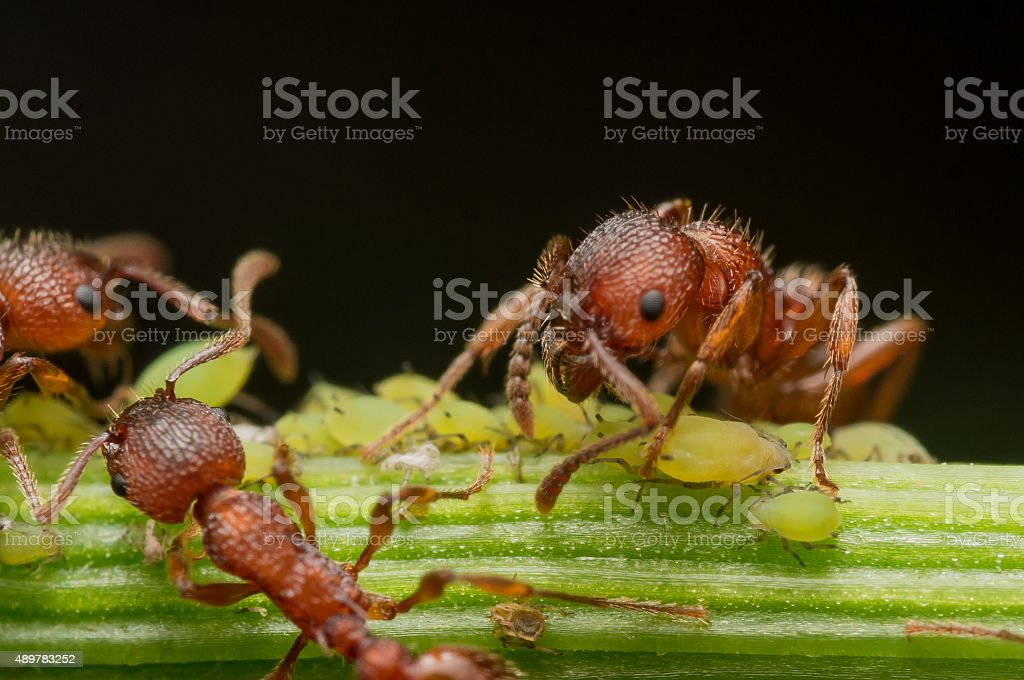 Red Ants herd small green aphids on flower stem stock photo