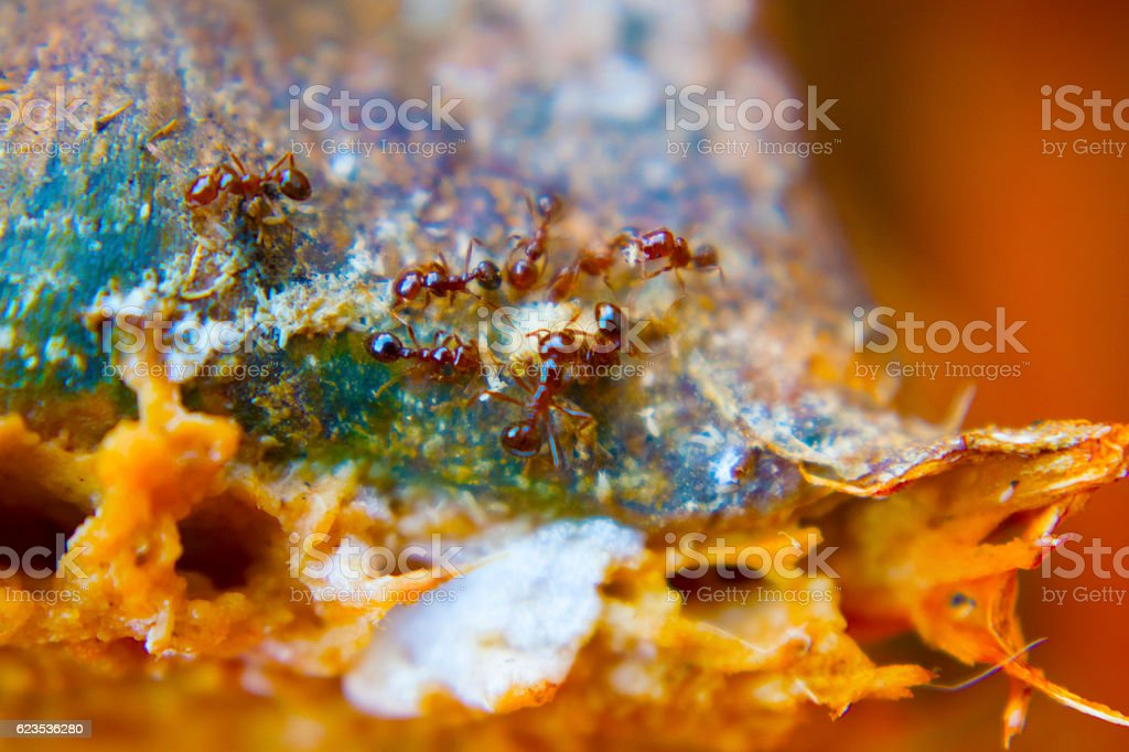 Red Ants on Pumpkin stock photo