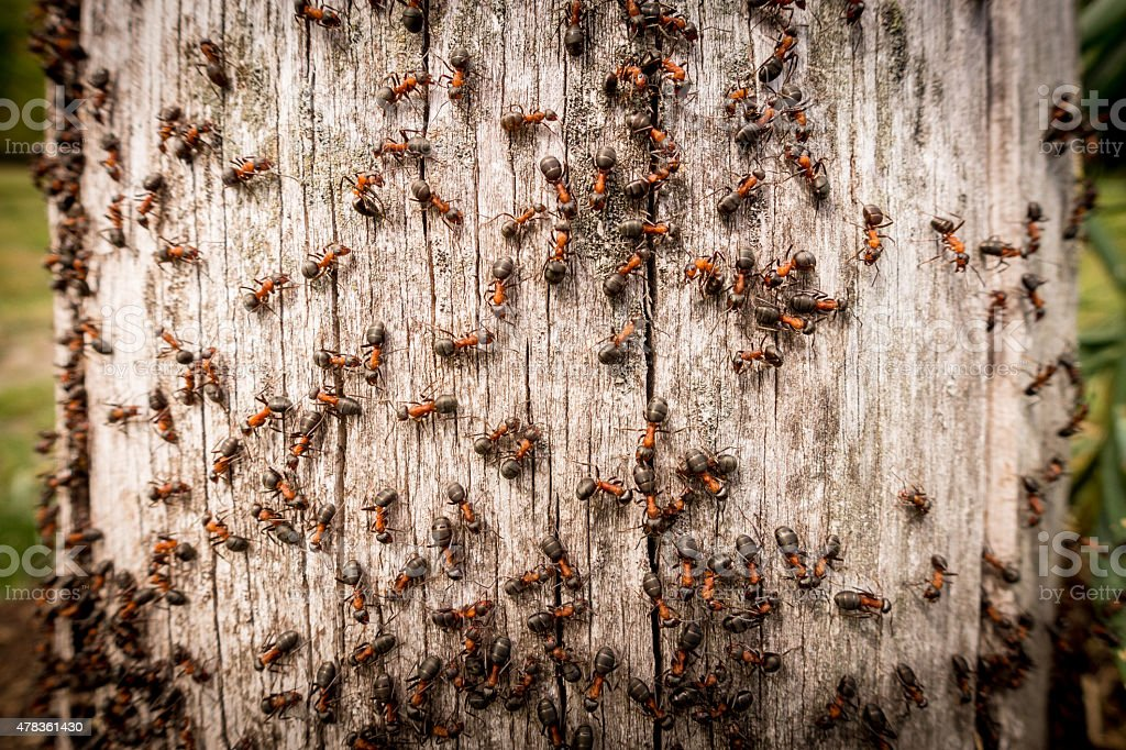 Red ants on tree trunk outdoor stock photo