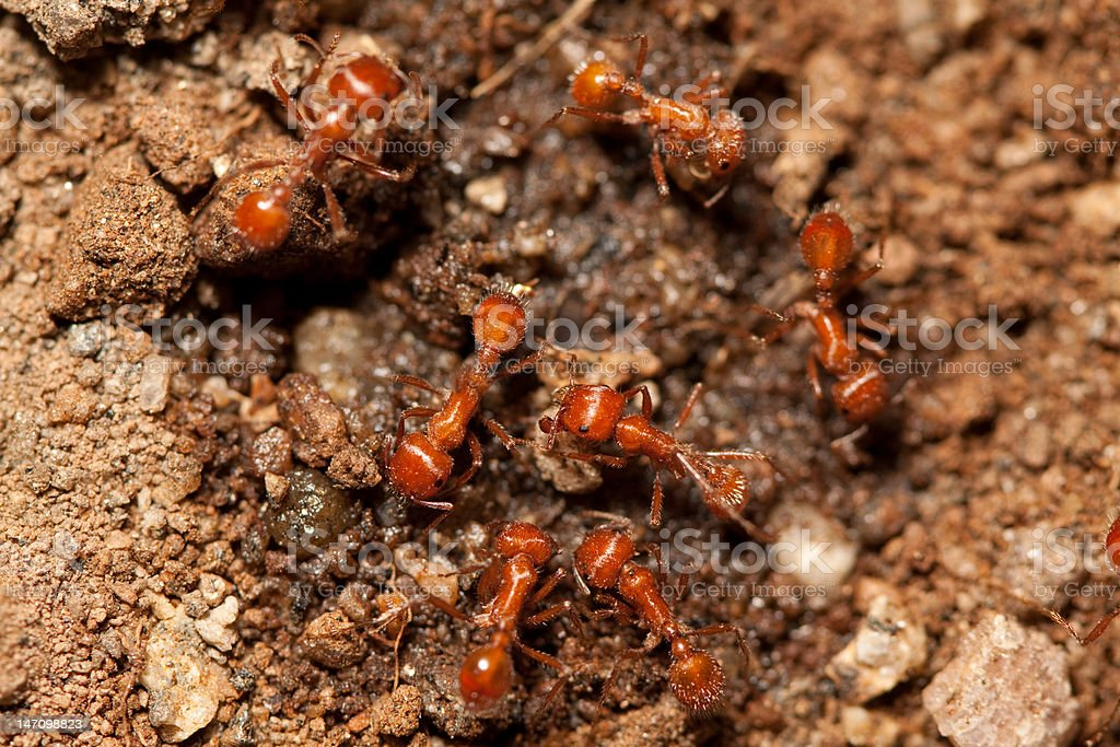 red ants royalty-free stock photo