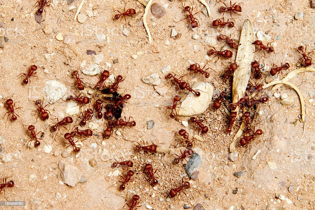 red ants stock photo
