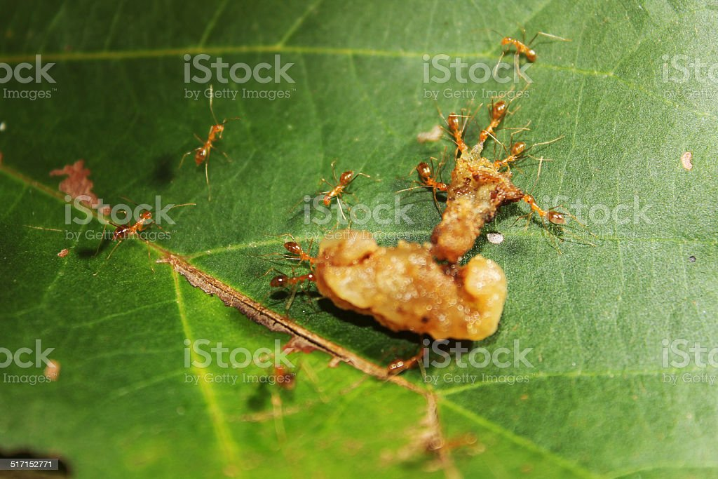 Red ants worked together to transport food stock photo