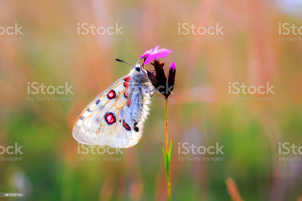 Red Apollo Butterfly stock photo