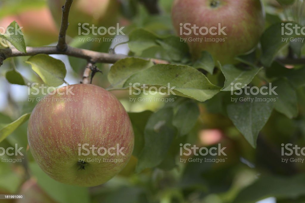 Red Apple at an Orchard royalty-free stock photo