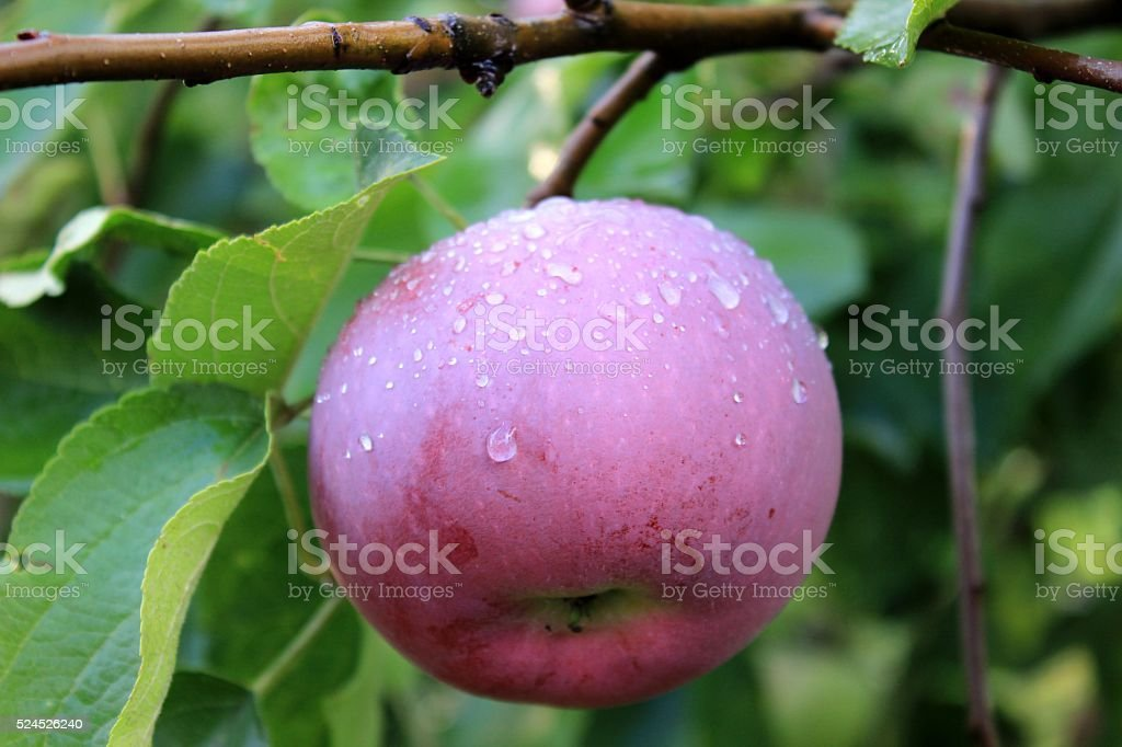 Red apple covered with rain drops on the tree stock photo