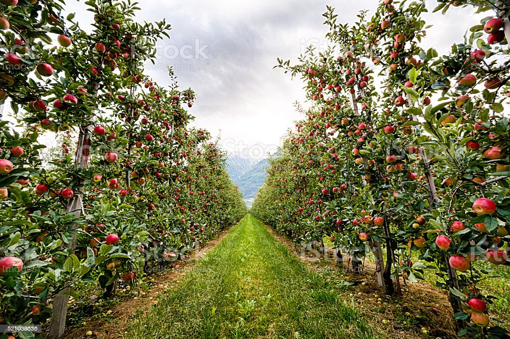 Red apple garden in Italy stock photo