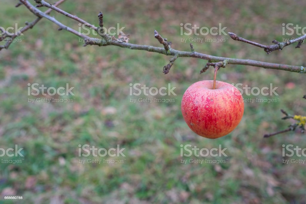 Red apple in november at a branch of a fruit tree stock photo