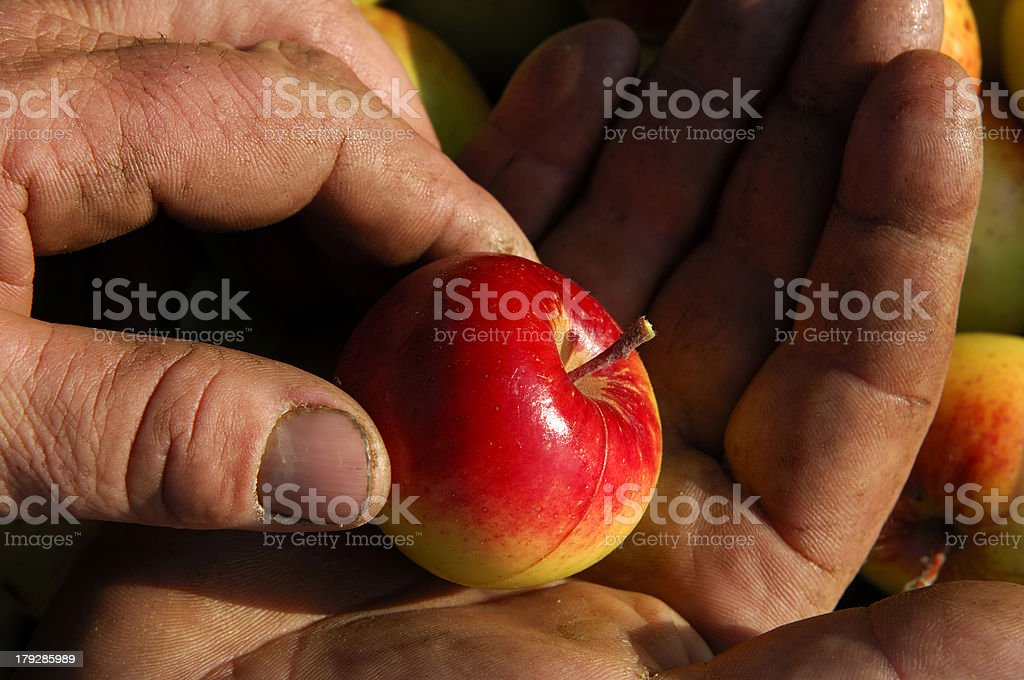 red apple in the hands royalty-free stock photo