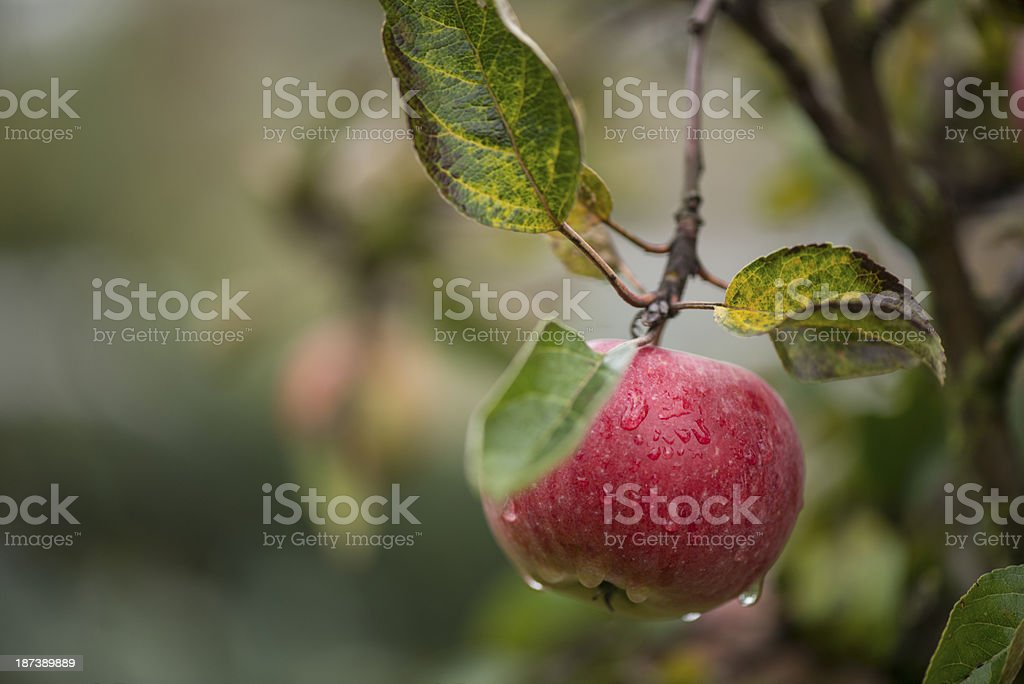 Red apple on brunch royalty-free stock photo