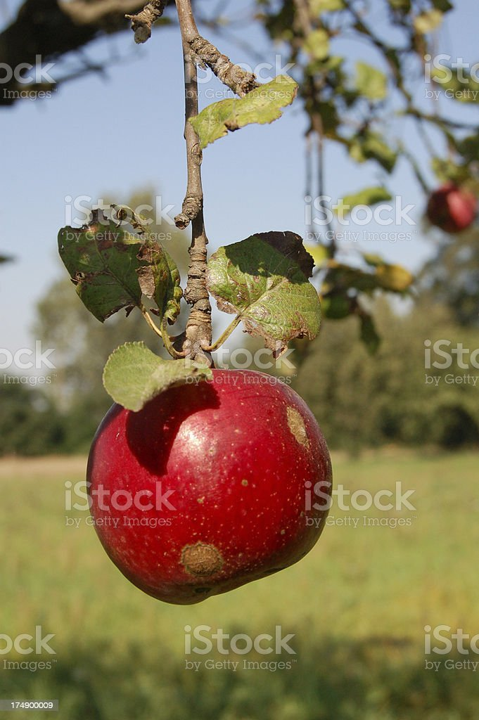 Red apple on the tree royalty-free stock photo
