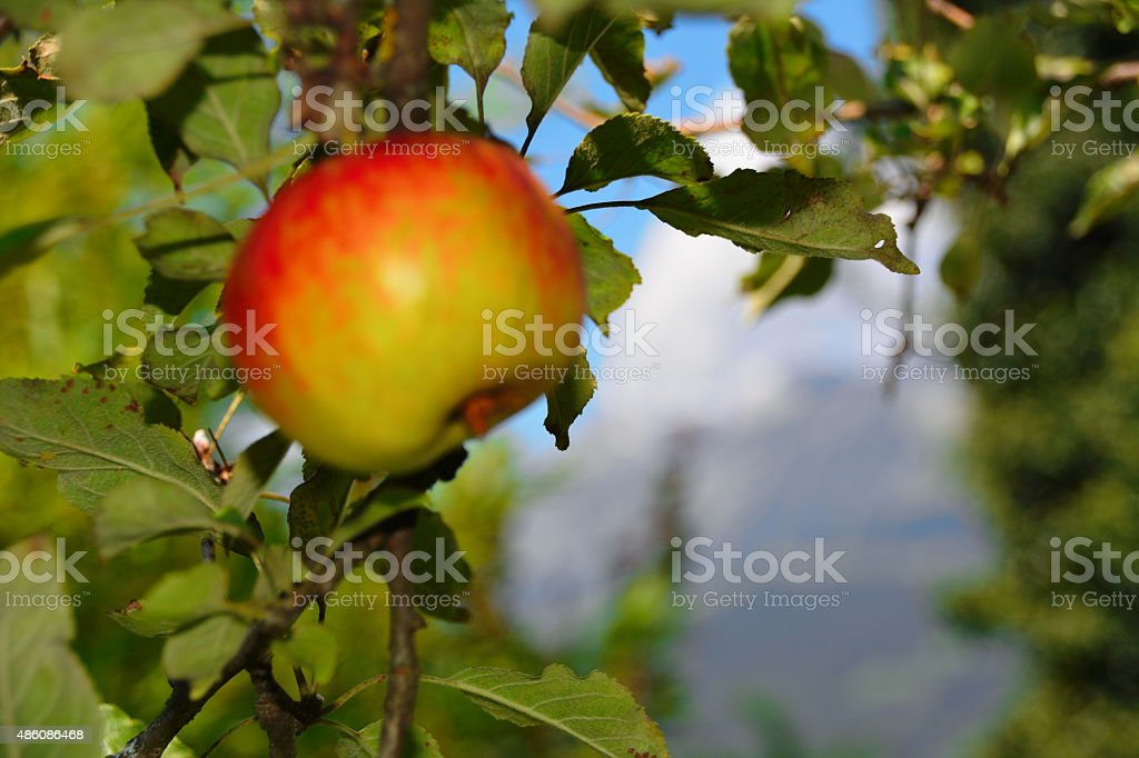 red apple  on the tree stock photo