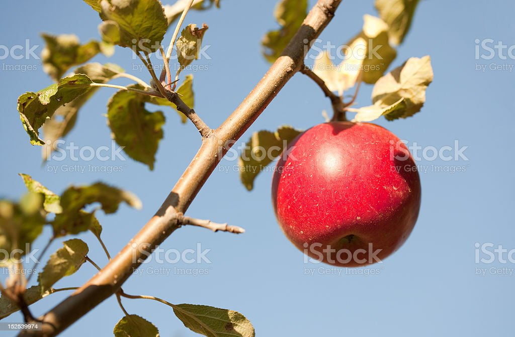 Red apple on tree branch royalty-free stock photo