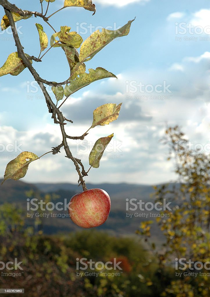 Red apple on tree stock photo