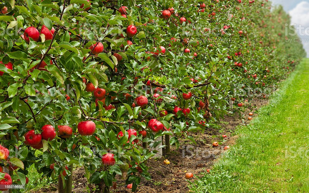 red apple orchard royalty-free stock photo
