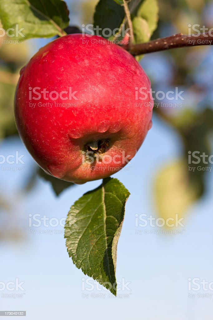 Red apple with morning dew in the autumn. royalty-free stock photo