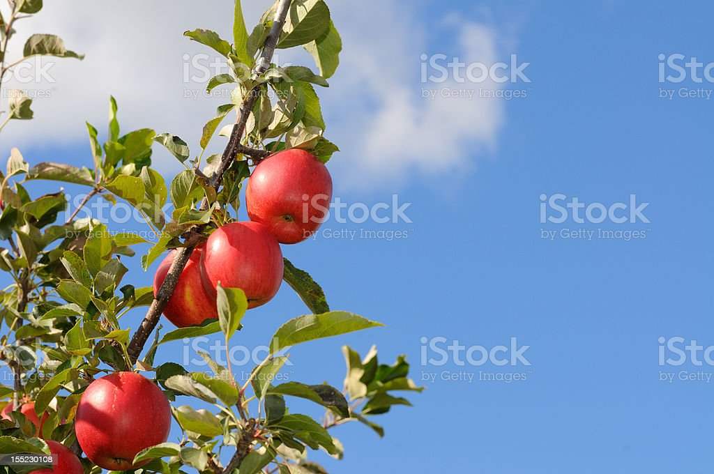 Red Apples, Blue Sky royalty-free stock photo