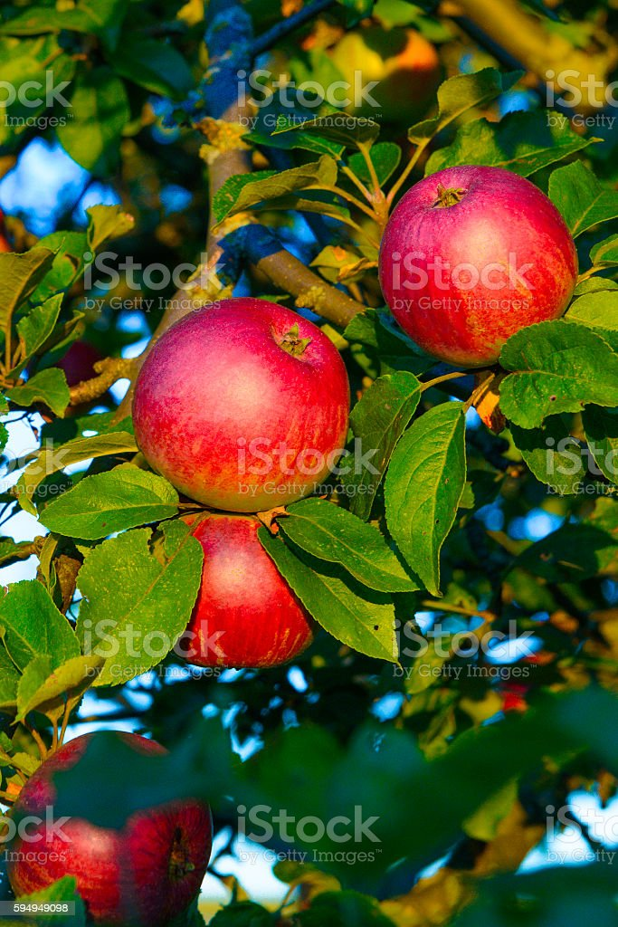Red Apples Fresh Delicious Tree Close-Up Green Leaves stock photo