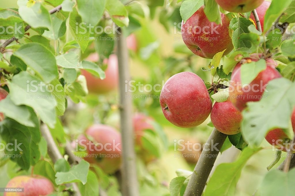 Red Apples Growing on Apple Tree royalty-free stock photo