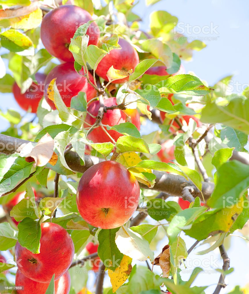 Red apples hanging from a branch royalty-free stock photo