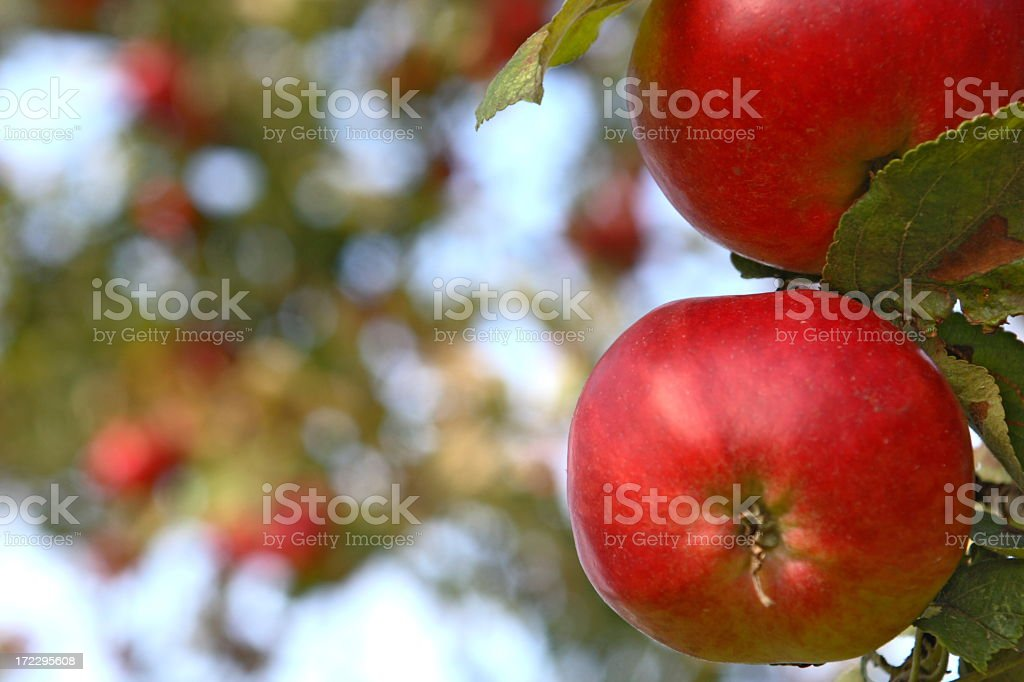 Red apples hanging from a leafy tree royalty-free stock photo