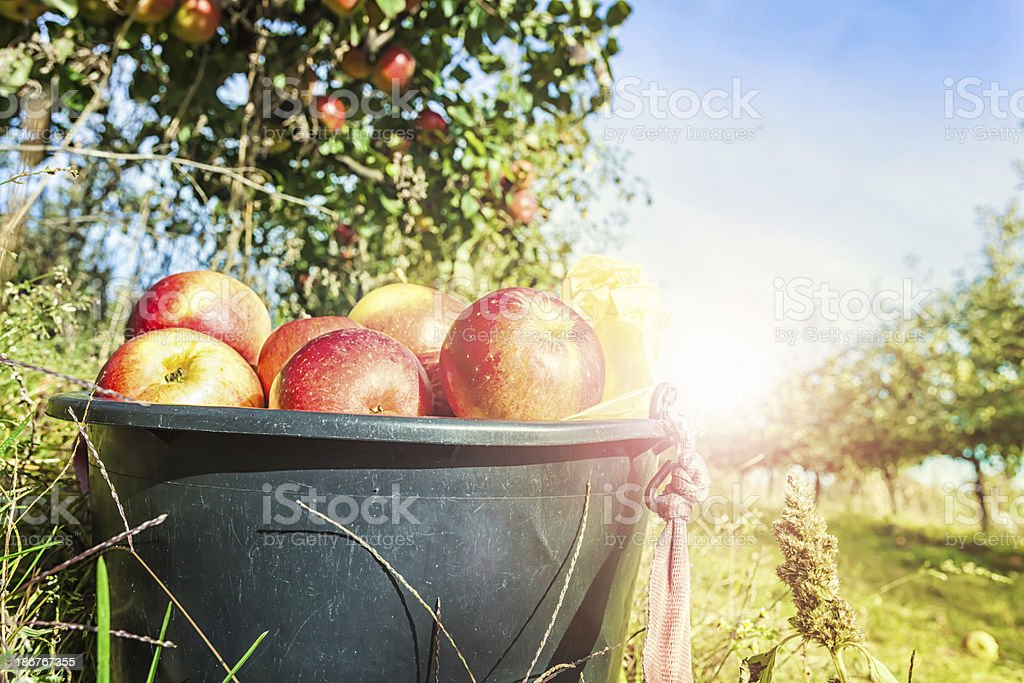 Red apples in a bucket stock photo