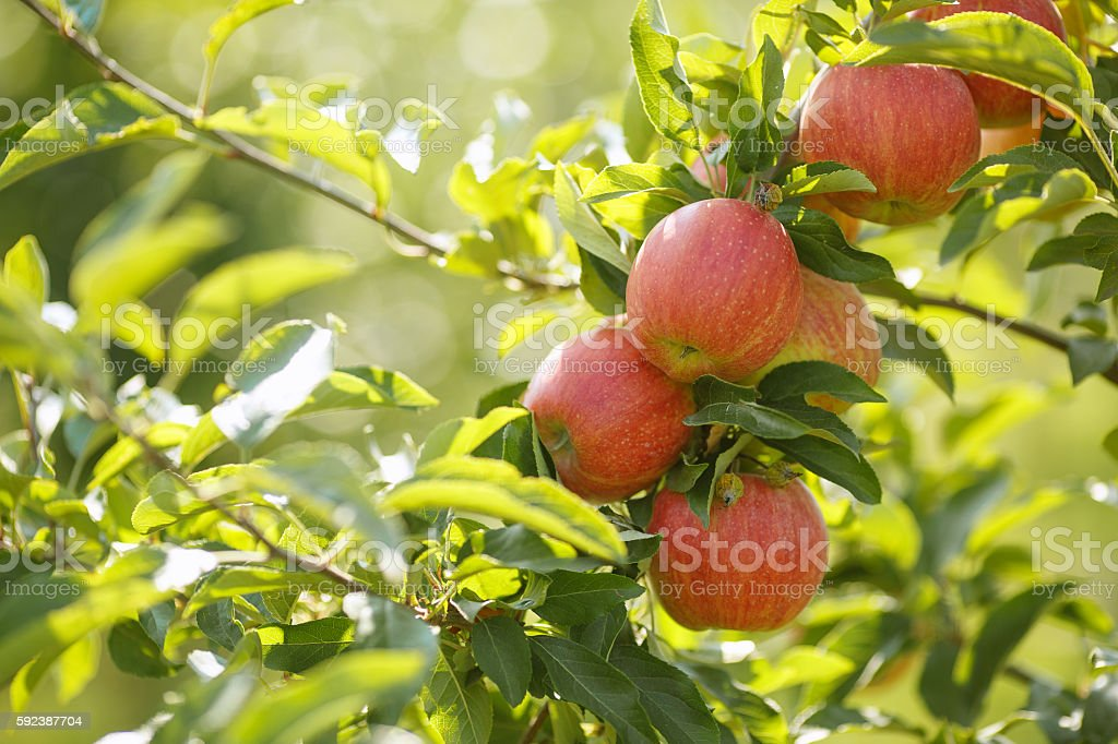 Red apples in a garden royalty-free stock photo