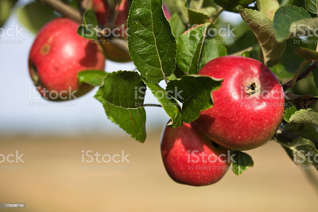 Red apples in the autumn. Copy space. royalty-free stock photo