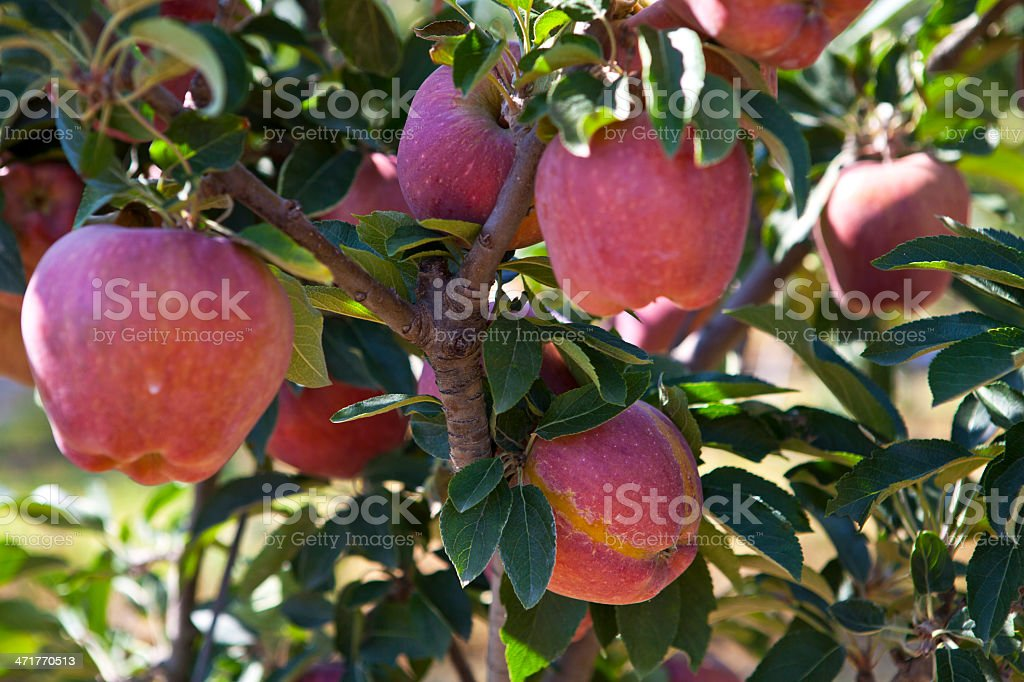 Red Apples on a Brach royalty-free stock photo