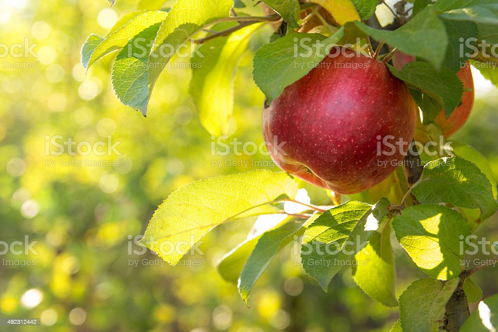 Red apples on a tree stock photo