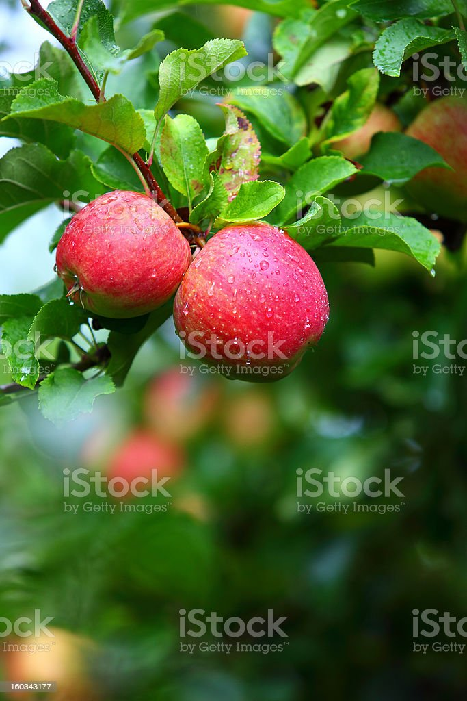Red apples on apple tree branch royalty-free stock photo