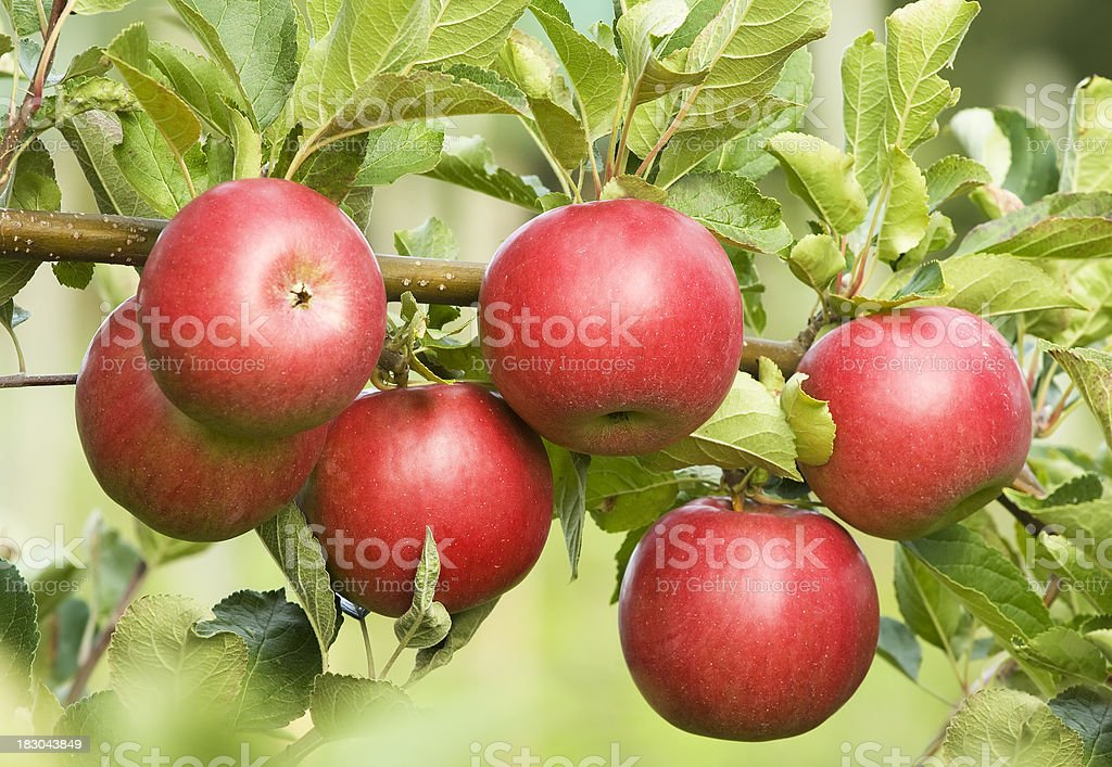Red Apples on Branch stock photo