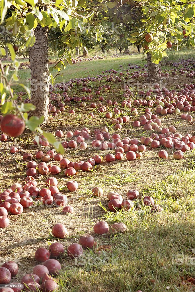 Red apples on ground in orchard. stock photo