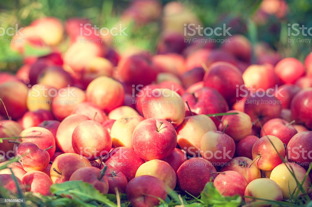 Red apples on the grass in orchard stock photo