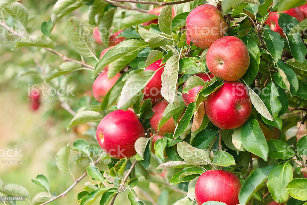 Red apples on the tree stock photo