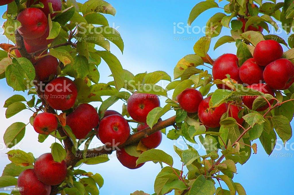 Red Apples Ripe For Picking stock photo