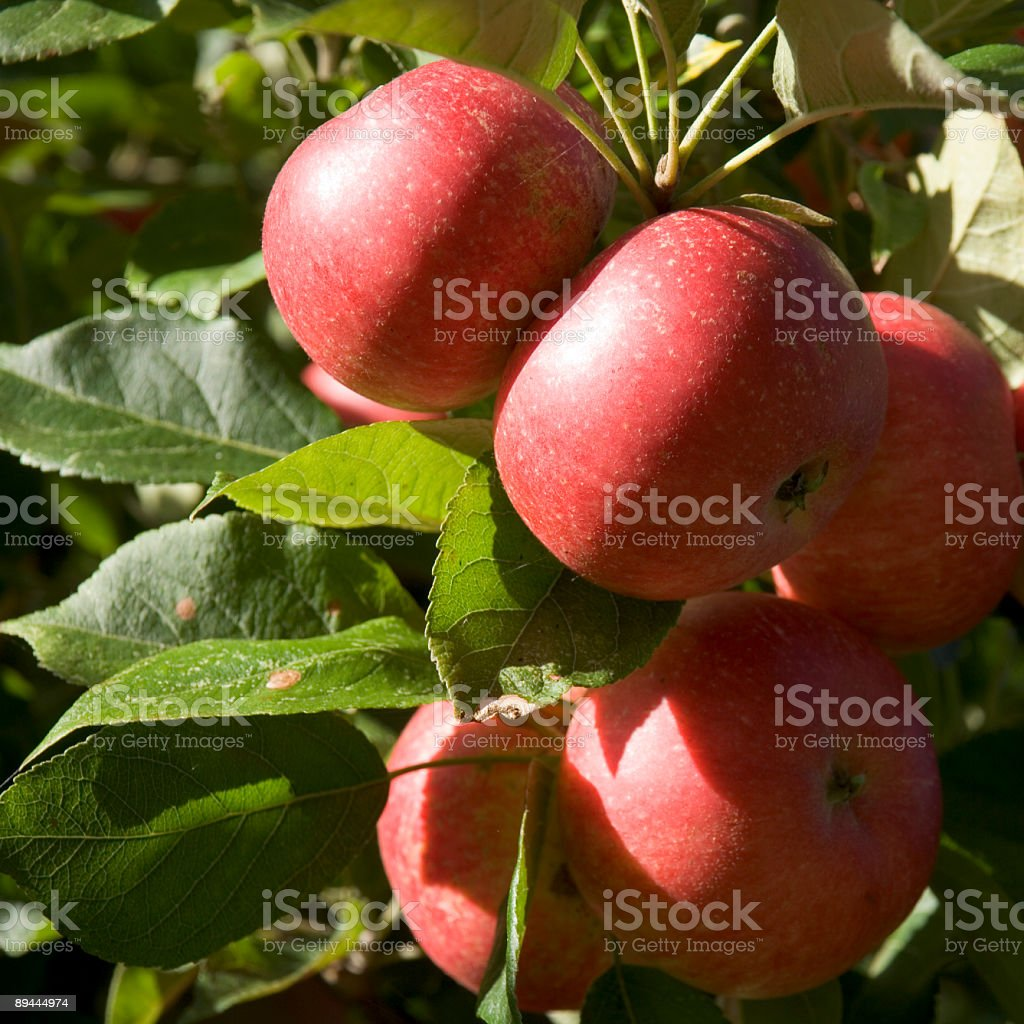 Red apples ripening on the tree royalty-free stock photo